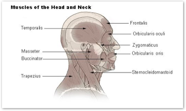 frontalis head a step beyond massage therapy